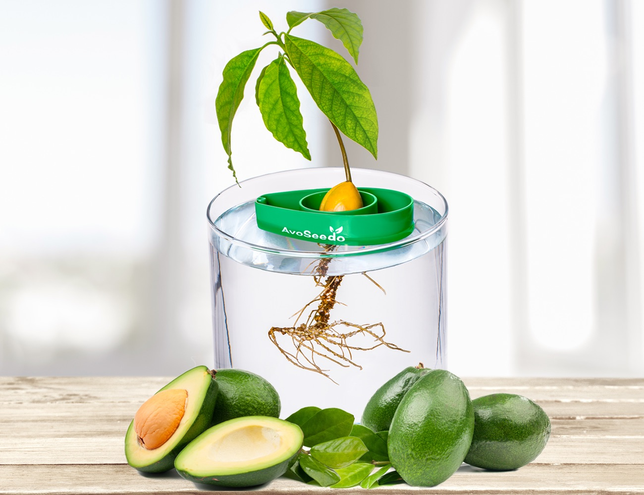 AvoSeedo – Grow your own Avocado Tree!
