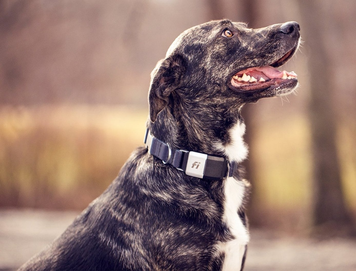 Fi Health-Tracking GPS Dog Collar is perfect for keeping track of your dog while you're away