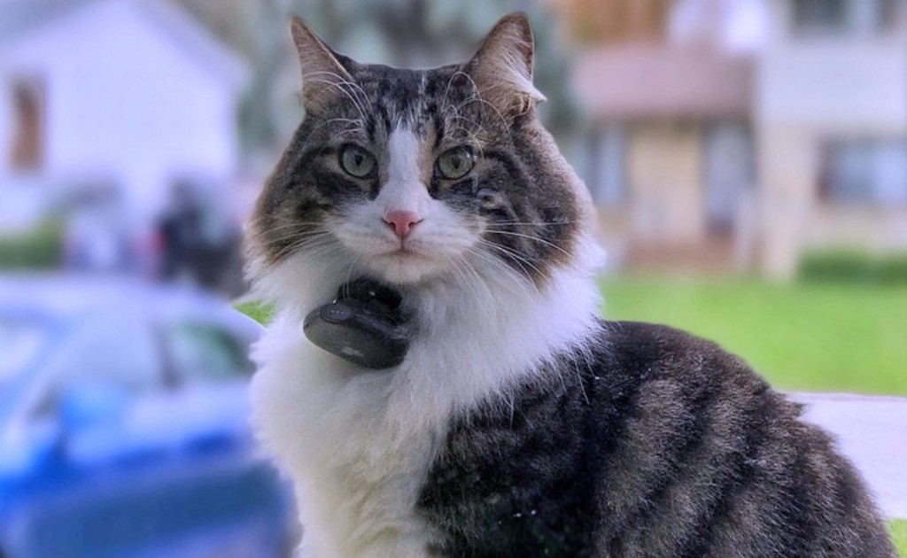 A gray-striped and white cat staring directly at the camera while wearing a pet activity monitor.