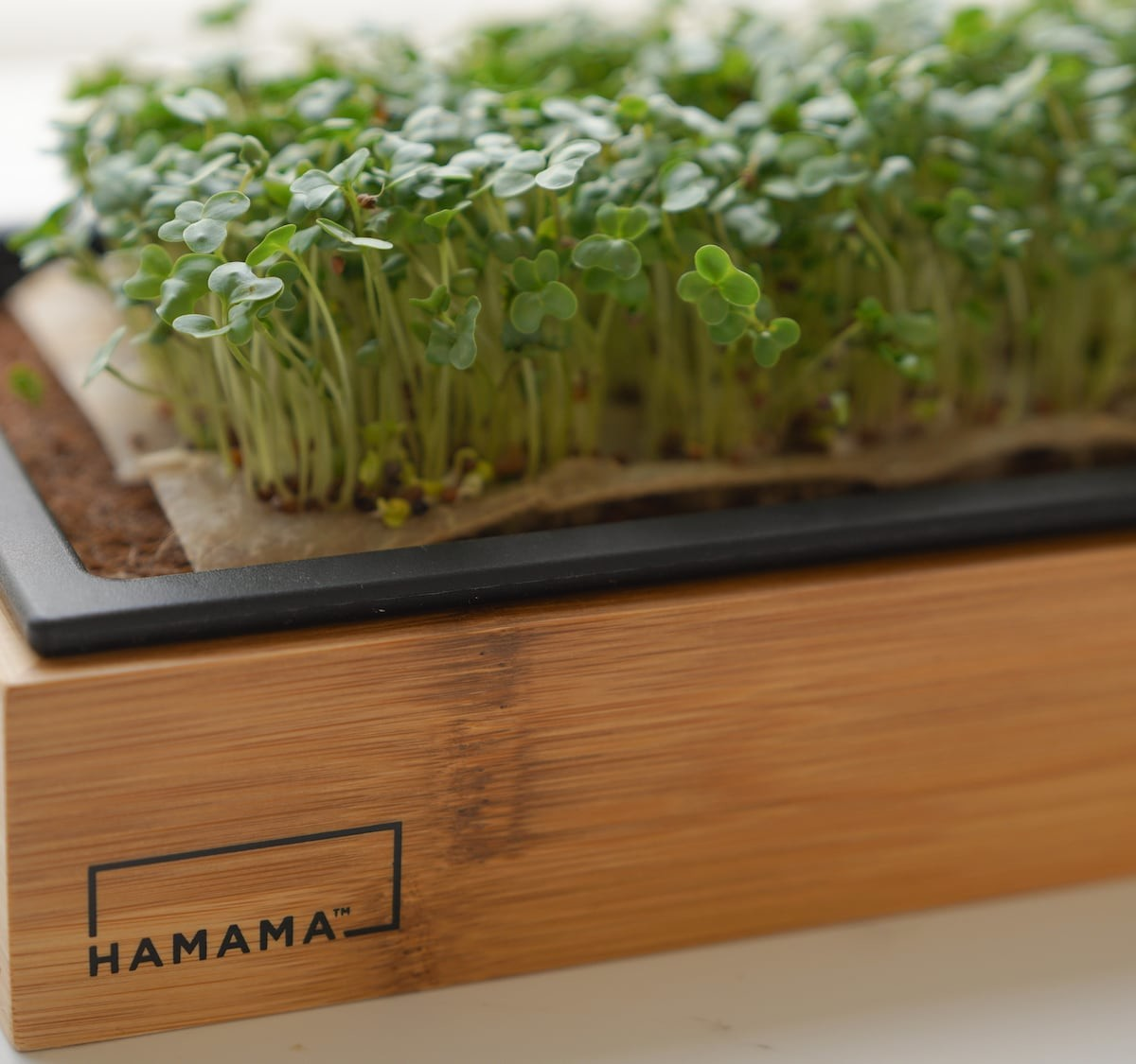 Hamama Microgreens Kit is your fail-proof indoor victory garden