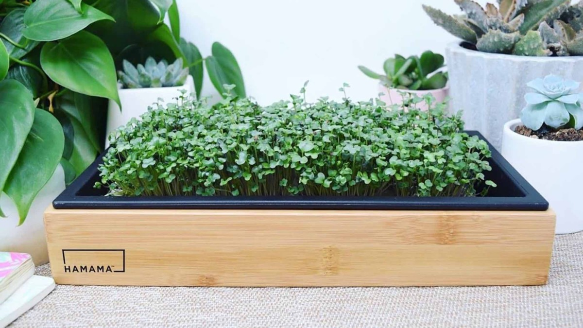 This healthy microgreens kit lets you easily grow sprouts at home